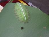 二隻黑點扁刺蛾早齡和終齡幼蟲~綠前蛹落跑:DSC06693.JPG