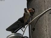 台南關子嶺的山麻雀親鳥育雛:074A3446幼鳥不死心張口索討食物.jpg