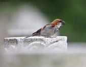 台南關子嶺的山麻雀親鳥育雛:074A3655.JPG