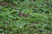 復旦-新天母公園的鳥兒:N74A3496樹鷚.JPG