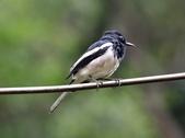 新天母公園的鵲鴝雄鳥:074A5789.JPG