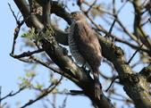 鳳頭蒼鷹-台灣二級珍貴稀有猛禽:N74A4560鳳頭蒼鷹母鳥.JPG