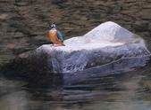 雙溪秋天的鳥類:074A5711母翠鳥正面.jpg