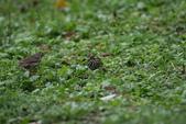 復旦-新天母公園的鳥兒:N74A3531.JPG