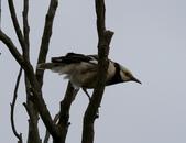 復旦大埤塘周遭的鳥兒:N74A2980a.jpg