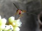 細扁食蚜蠅取食火炭母草花蜜:DSC09167雌複眼.jpg