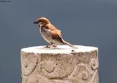 台南關子嶺的山麻雀親鳥育雛:074A3694.JPG