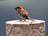 台南關子嶺的山麻雀親鳥育雛:074A3709.JPG
