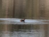 復旦大埤塘的鳥兒:074A7263.JPG