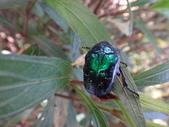 藍艷白點花金龜:DSC08597.JPG