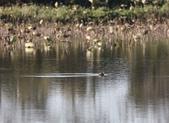 復旦大埤塘的鳥兒:074A7256.JPG