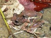 自然界之美一青蛙:青蛙假交配