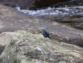 雙溪秋天的鳥類:074A5463a.jpg