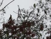 大雪山賞鳥和松鼠及猴王:074A7306黃腹琉璃.jpg