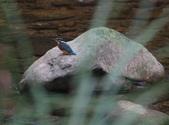 雙溪秋天的鳥類:074A5555雌翠鳥.jpg