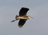 復旦社區冬天的鳥兒:074A7722蒼鷺.jpg
