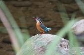 雙溪秋天的鳥類:074A5706翠鳥.jpg