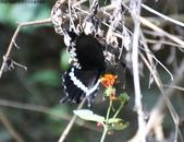 屏東士文昆蟲與動物:IMG_0186玉帶鳳蝶.JPG