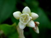 細扁食蚜蠅取食火炭母草花蜜:DSC09141花朵.JPG