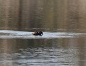 復旦大埤塘的鳥兒:074A7261小鷿鵜張口.jpg