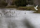 鰲鼓的候鳥與水鳥:074A7983黑琵驅趕反嘴鴴.jpg