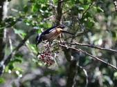 冬至大雪山活潑的鳥兒與松鼠:074A6947.JPG