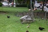 與野鳥共舞:074A2557野鴿與野鴨.JPG