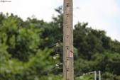 台南關子嶺的山麻雀親鳥育雛:074A3469公鳥.JPG