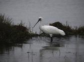 清晨鰲鼓濕地的鳥類:074A5858.JPG