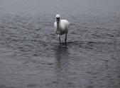 清晨鰲鼓濕地的鳥類:074A5851.JPG