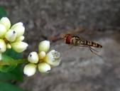 細扁食蚜蠅取食火炭母草花蜜:DSC09171擅於空中定點飛行.JPG