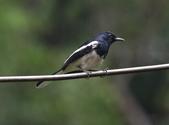 新天母公園的鵲鴝雄鳥:074A5782鵲鴝.jpg
