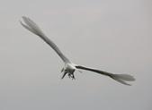 鰲鼓的候鳥與水鳥:074A7922.JPG