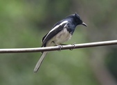 新天母公園的鵲鴝雄鳥:074A5784.JPG