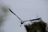 鰲鼓的候鳥與水鳥:074A7926蒼鷺飛姿.JPG