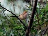 褐頭鷦鶯、粉紅鸚嘴、紅尾伯勞與灰頭鷦鶯:074A8785粉紅鸚嘴.JPG