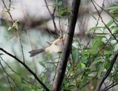 褐頭鷦鶯、粉紅鸚嘴、紅尾伯勞與灰頭鷦鶯:074A8786a.jpg
