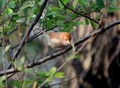 褐頭鷦鶯、粉紅鸚嘴、紅尾伯勞與灰頭鷦鶯:074A8787a.jpg