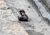 台南關子嶺的山麻雀親鳥育雛:074A3498.JPG