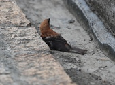 台南關子嶺的山麻雀親鳥育雛:074A3502山麻雀公鳥.JPG