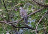 復旦大埤塘周遭的鳥兒:N74A2934金背鳩.jpg