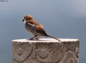 台南關子嶺的山麻雀親鳥育雛:074A3704.JPG