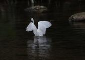 雙溪秋天的鳥類:074A5621a.jpg