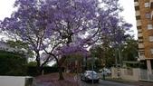 2017雪梨的藍花楹:10491.jpg