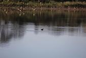復旦大埤塘的鳥兒:074A7272.JPG