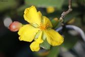 2017春天社區花兒與昆蟲:074A2321米老鼠.JPG
