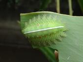 二隻黑點扁刺蛾早齡和終齡幼蟲~綠前蛹落跑:DSC06513黑點扁刺蛾終齡幼蟲.JPG