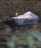 雙溪秋天的鳥類:074A5713a.jpg
