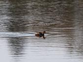 復旦大埤塘的鳥兒:074A7257小鷿鵜.jpg