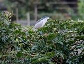 復旦大埤塘周遭的鳥兒:N74A2935夜鷺.jpg